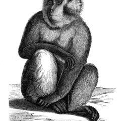 Macaque magot