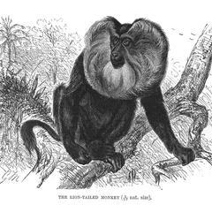 The Lion-Tailed Monkey (1/10 nat. size)