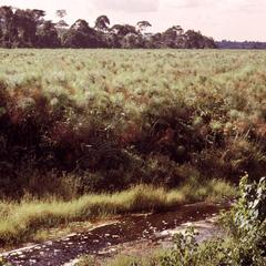 Papyrus Swamp