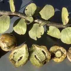"Fruit and leaves of Pereskia cactus, ""manzanote"""