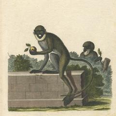 Lesser Spot-Nosed Monkeys Print