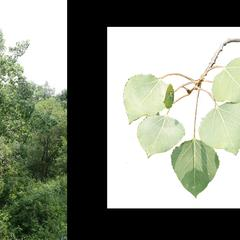Populus tremuloides - tree and summer branch