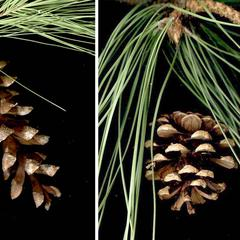 White pine and red pine cones