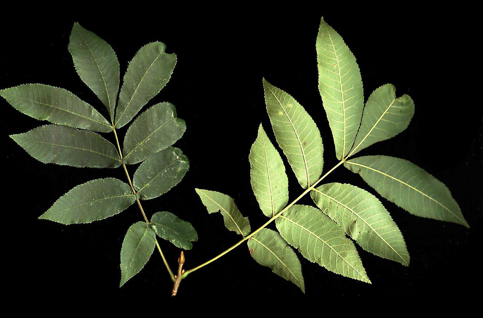 Carya cordiformis  - leafy twig