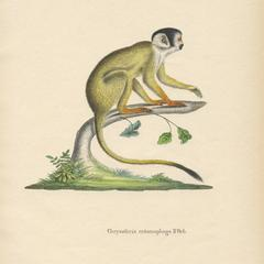 Black-Capped Squirrel Monkey Print