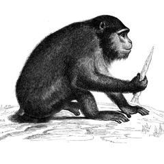 Macaque ursin (màle)