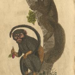 Fox Tailed Monkey & Great Eared Monkey