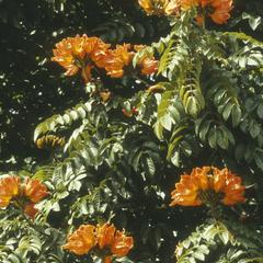 Spathodea campanulata north of Tegucigalpa