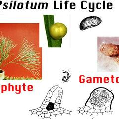 Psilotum nudum life cycle