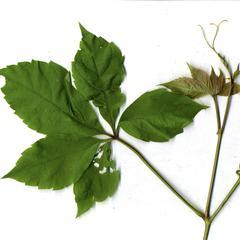 Leaf scar and buds of black ash