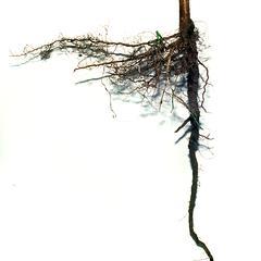 Tap root of box elder