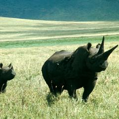 Adult Black Rhinoceros with Young