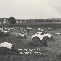 Curing alfalfa hay