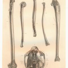 1-5-Propithecus diadema. 6-Indris.