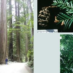 Composite : Tree in Muir Woods, California, Coastal redwoods in Jebediah Smith Park - Bonnie standing by a large tree along the road and branch with male cones with an ovulate cone