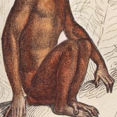 Seated Proboscis Monkey Print