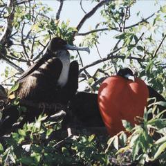 Great Frigatebirds (Fregata minor)