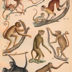 Spider Monkey Group Print