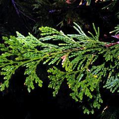 Incense cedar branch