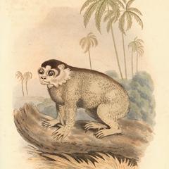 The Slow Lemur