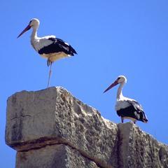 Storks at Volubilis Roman Ruins