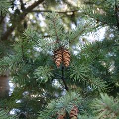 Douglas fir - branch with mature ovulate cones