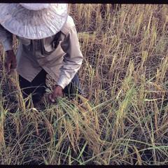 Cutting rice in fields 1, 2, 3