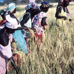Women Harvesting Rice