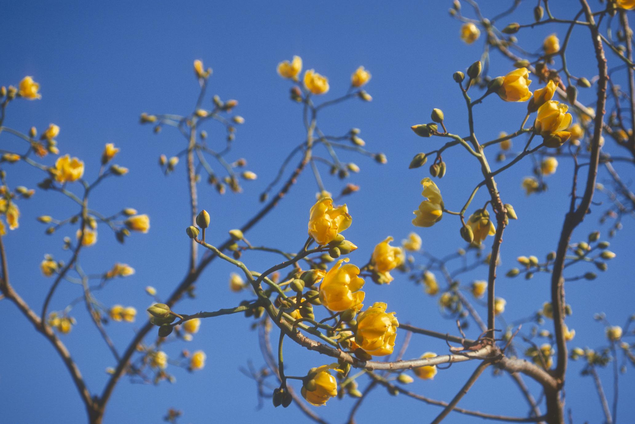 Flowers of Cochlospermum, west of Jutiapa