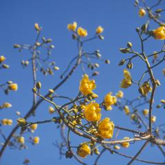 Flowers of Cochlospermum, west of Jutiapa