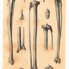 Indris brevicaudatus