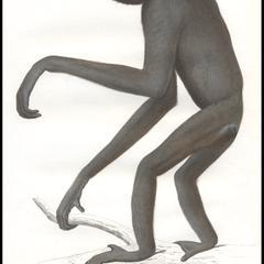 Gibbon Deuil