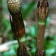 Equisetum arvense - fertile shoot