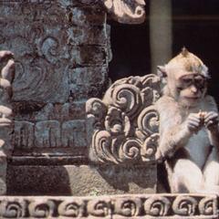 Rhesus Macaque Print