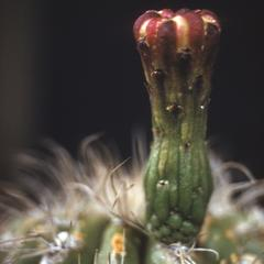 "Flower bud of the ""giant telephone pole"" cactus"