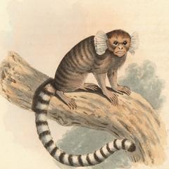 The Striated Monkey