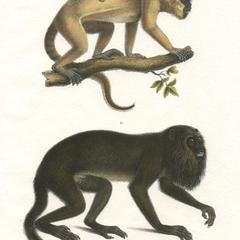 Howler Monkey Family Print