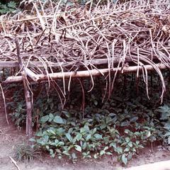Coffee Seedlings in a Nursery