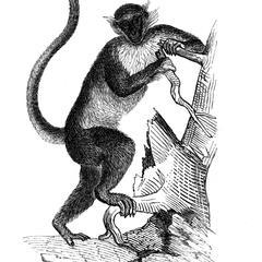 Guenon callitriche