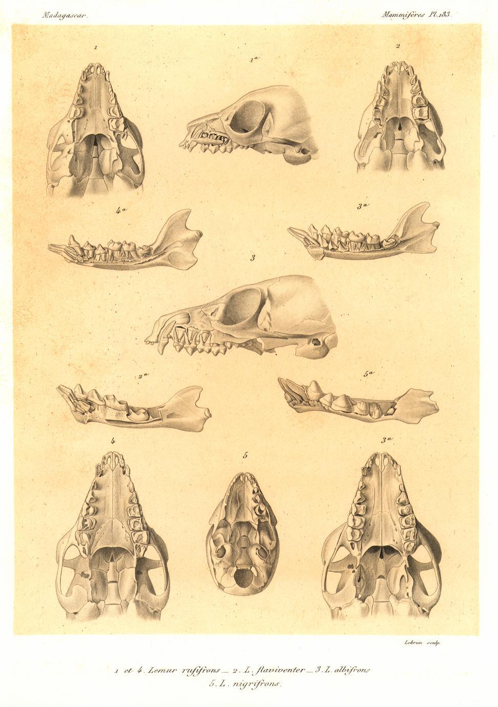 1 et 4-Lemur rufifrons; 2-Lemur flaviventer; 3-Lemur albifrons, 5-Lemur nigrifrons