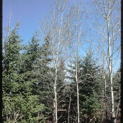 Aspen, spruce, fir in spring in University of Wisconsin–Madison Arboretum