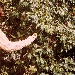 Cloves Growing in Zanzibar