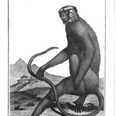 L'Entelle (Hanuman langur)