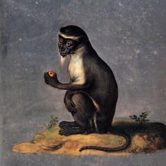 Seated Diana Monkey Print
