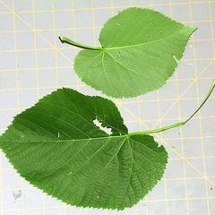 Leaf of Tilia americana