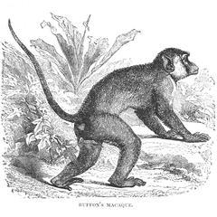 Buffon's Macaque