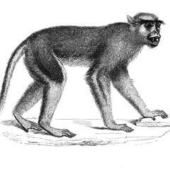 Guenon patas