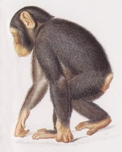Walking Juvenile Chimpanzee Print