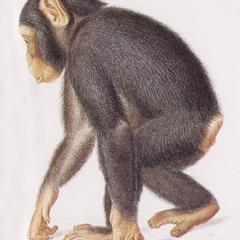 Walking Juvenile Chimpanzee Print