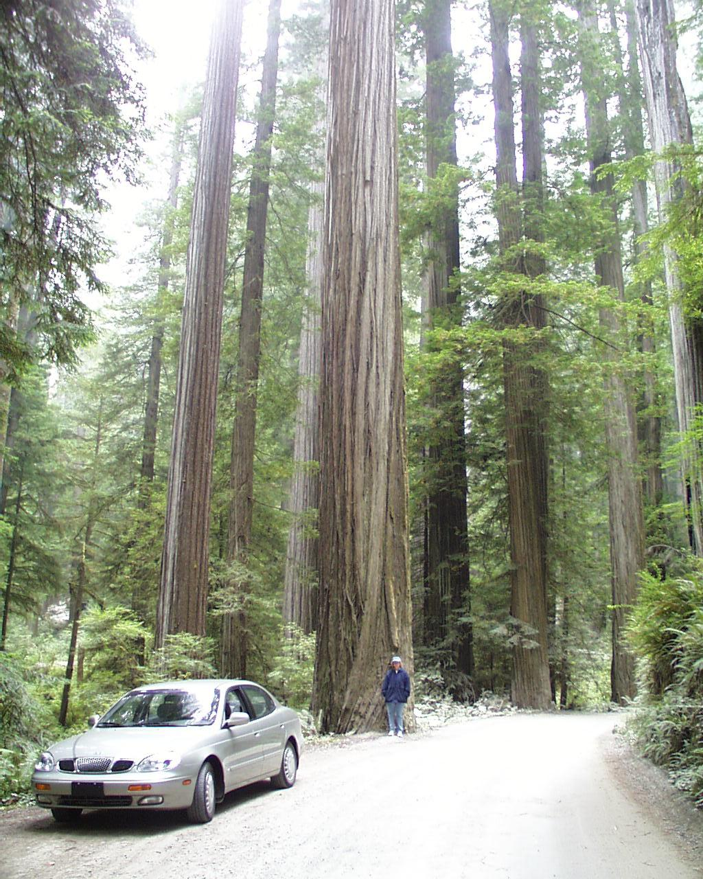 Coastal redwoods in Jebediah Smith Park with Bonnie standing by a large tree along the road